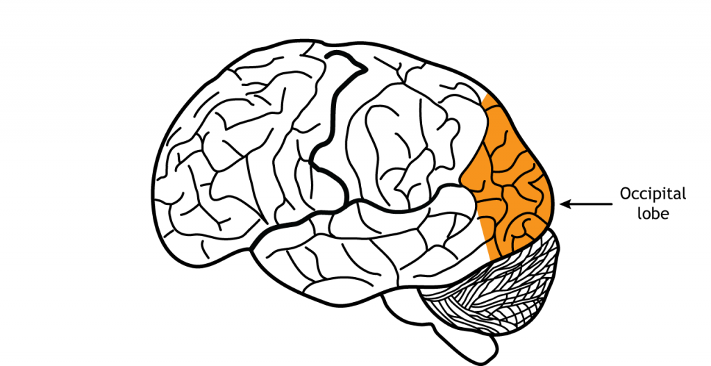 Illustration of the brain showing the occiptial lobe. Details in text.