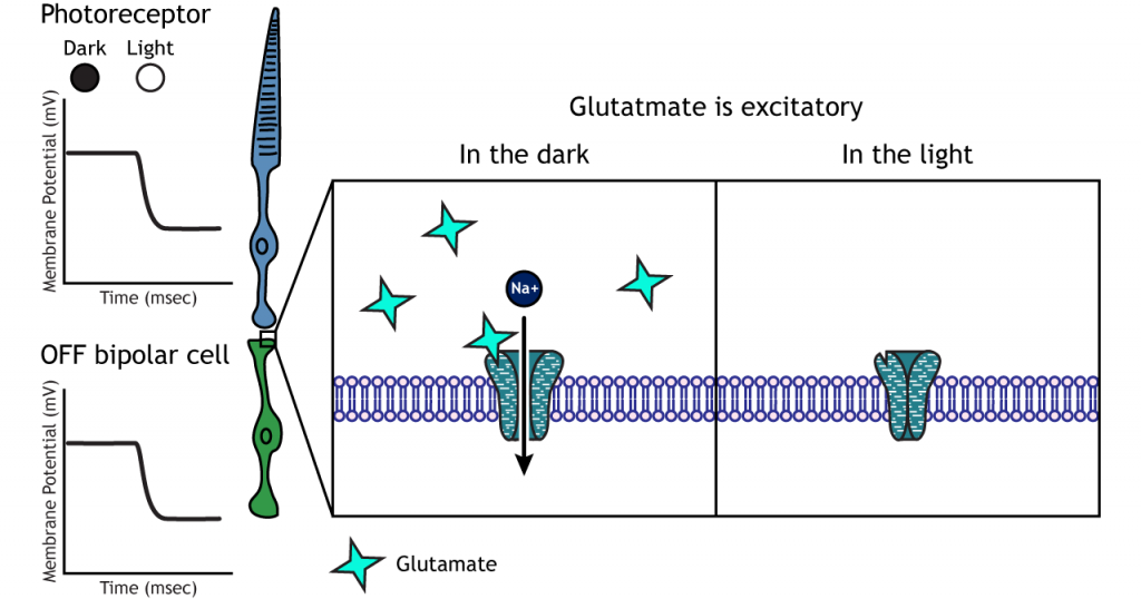 Illustration of ionotropic receptors in the OFF bipolar cells in dark and light. Details in caption.