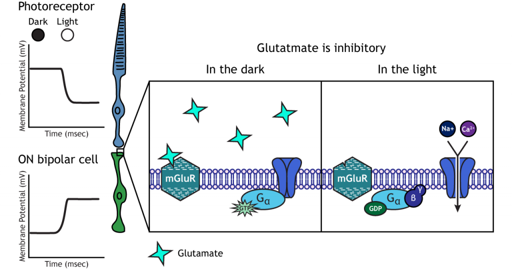 Illustration of metabotropic receptors in the ON bipolar cells in dark and light. Details in caption.