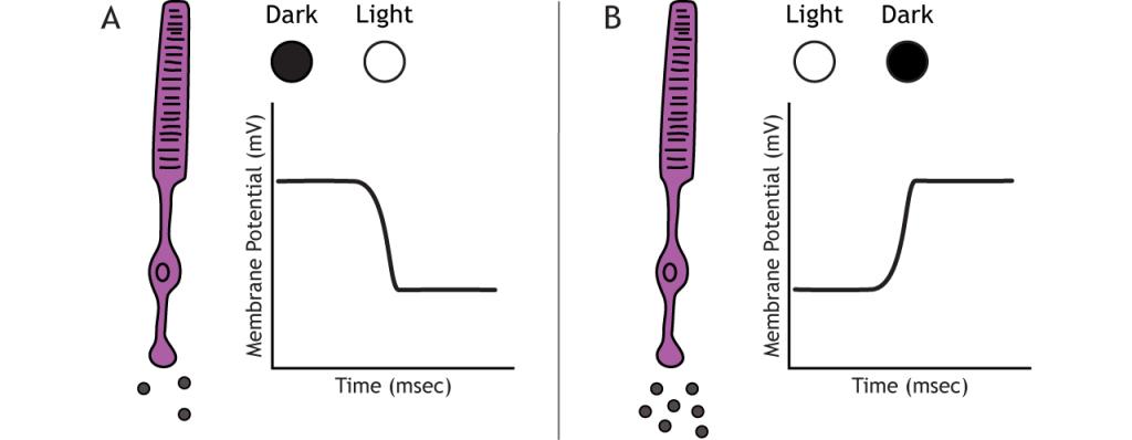 Illustration of photoreceptor receptor potentials in response to light changes. Details in caption.