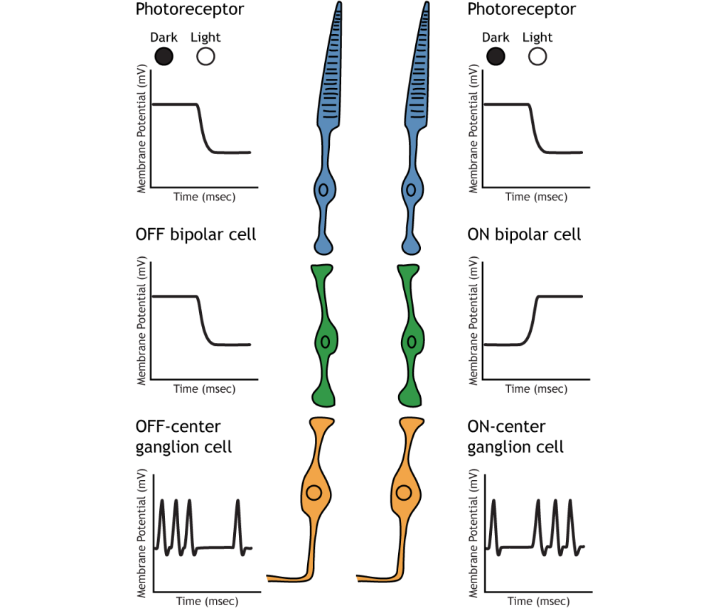 Illustration of membrane potential changes in retinal neurons after a move from dark to light. Details in caption.