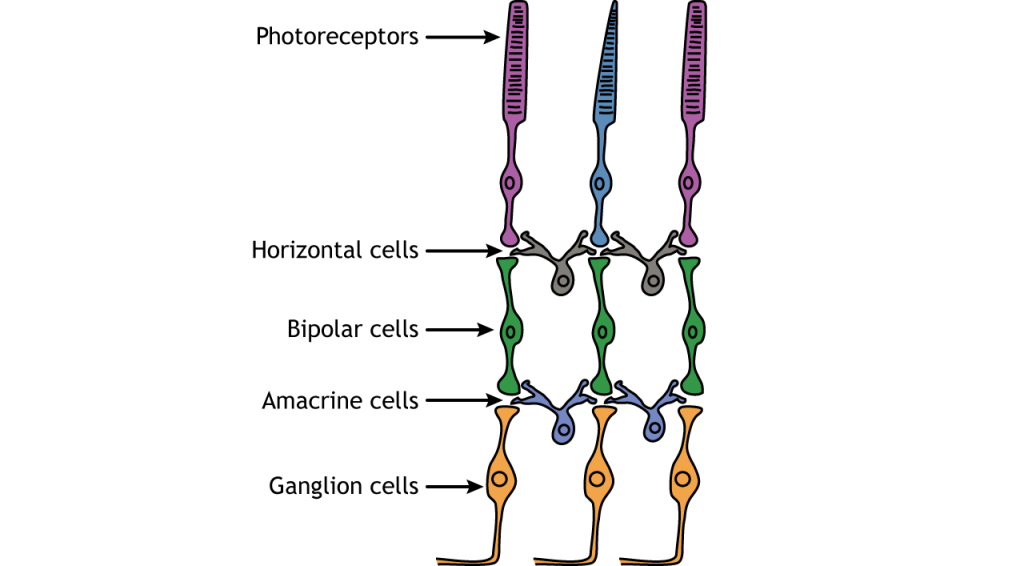 Illustration of the neuronal cell layers of the retina. Details in caption.
