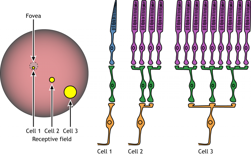 Illustration of receptive field size and neuron convergence in the retina. Details in caption.