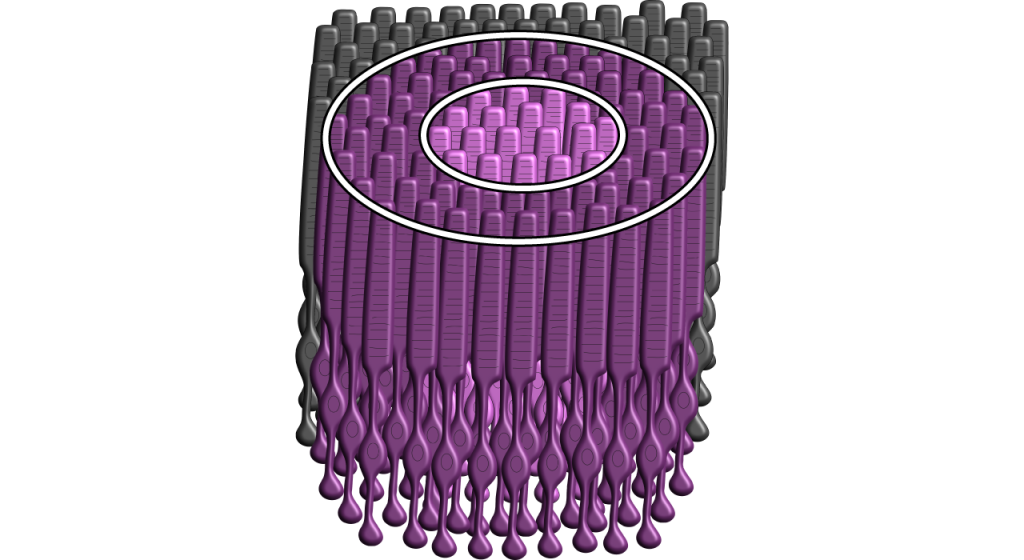 Illustration showing photoreceptors present in a two-dimensional circle. Details in caption.