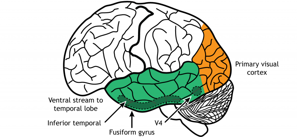 Illustration of the ventral stream through V4, the inferior temporal lobe, and the fusiform gyrus. Details in caption.