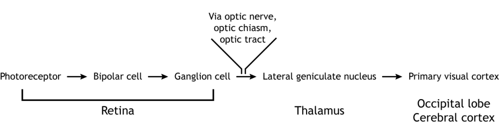 Visual pathway in text. Details in caption.