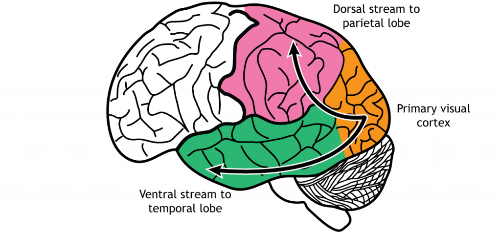 Illustration of brain showing dorsal and ventral visual processing streams. Details in caption.