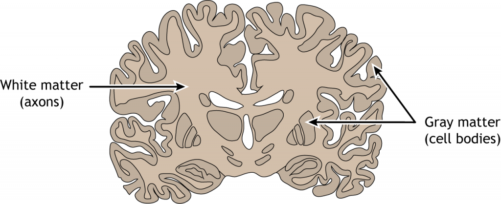 Illustration of a frontal brain section showing white and gray matter. Details in caption.