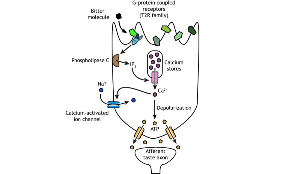 Illustration of bitter taste transduction pathway. Details in caption.