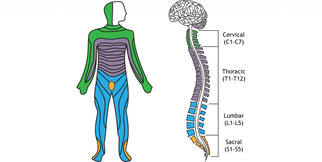 Illustration of the divisions of the spinal cord and related dermatomes. Details in caption.