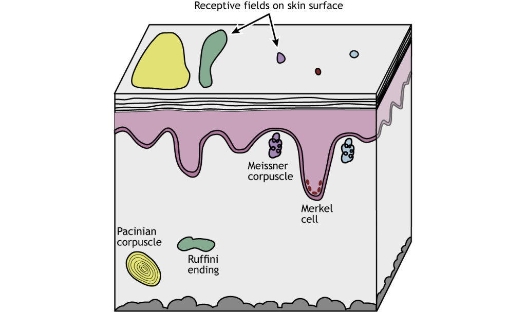 Illustration of mechanoreceptors and relative receptive field sizes. Details in caption.