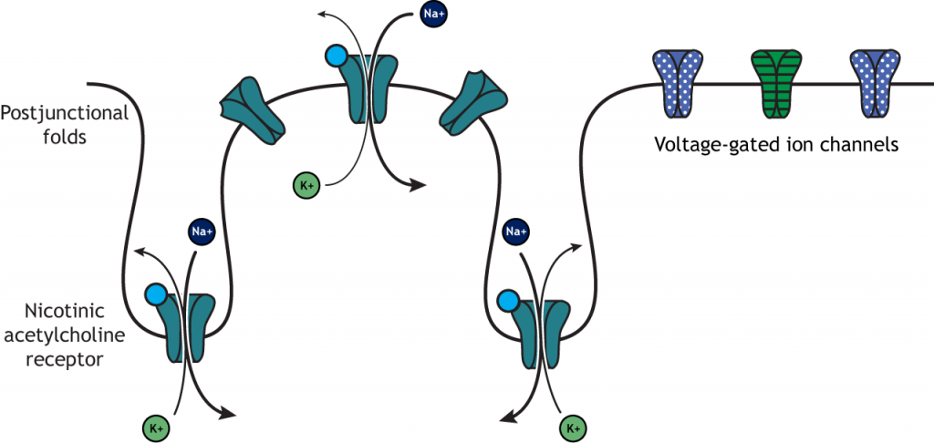 Illustration of postjunctional folds on muscle fiber and ion flow after acetylcholine action. Details in caption.
