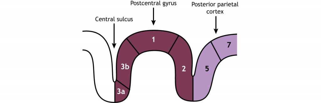 Illustration of the divisions of the postcentral gyrus. Details in caption and text.