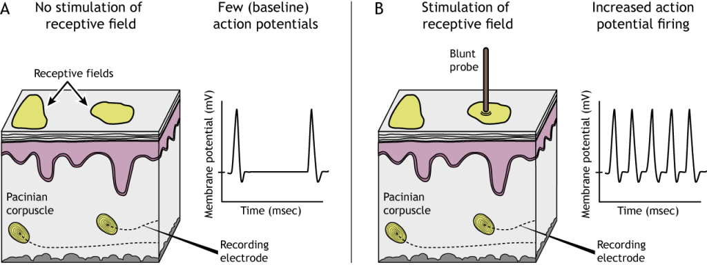 Illustration of mechanoreceptor receptive fields with and without stimulation. Details in caption.