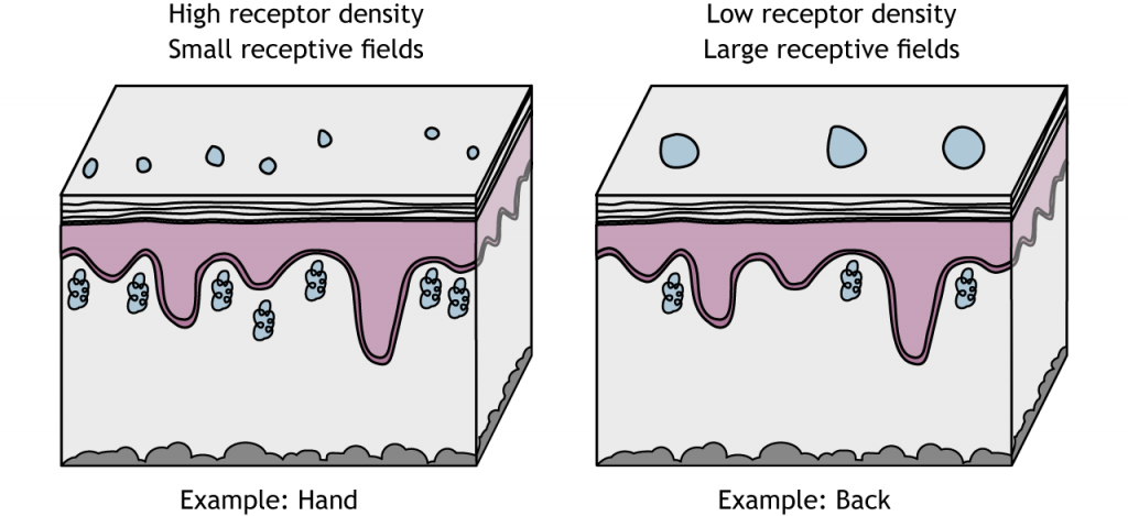 Illustration of mechanoreceptors with small and large receptive fields. Details in caption.
