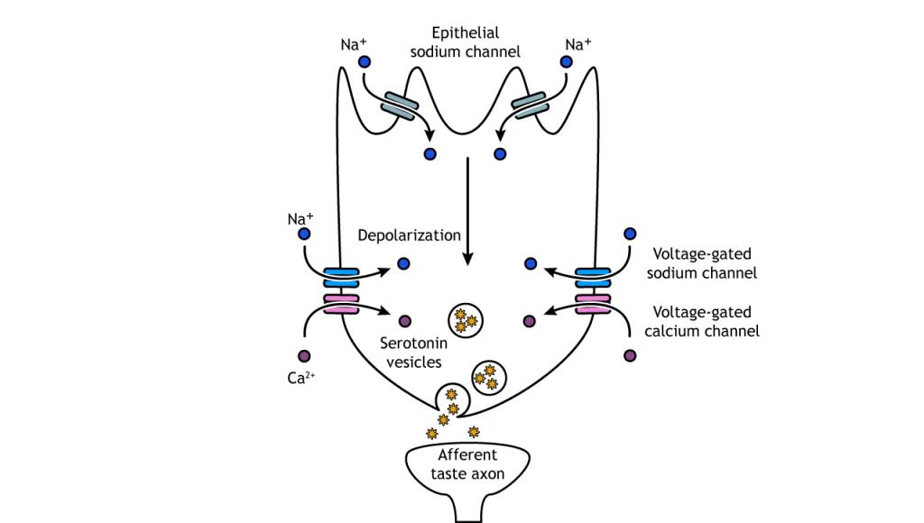 Illustration of salt taste transduction pathway. Details in caption.