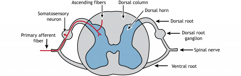 Illustration of the spinal cord showing the primary afferent fiber. Details in caption.