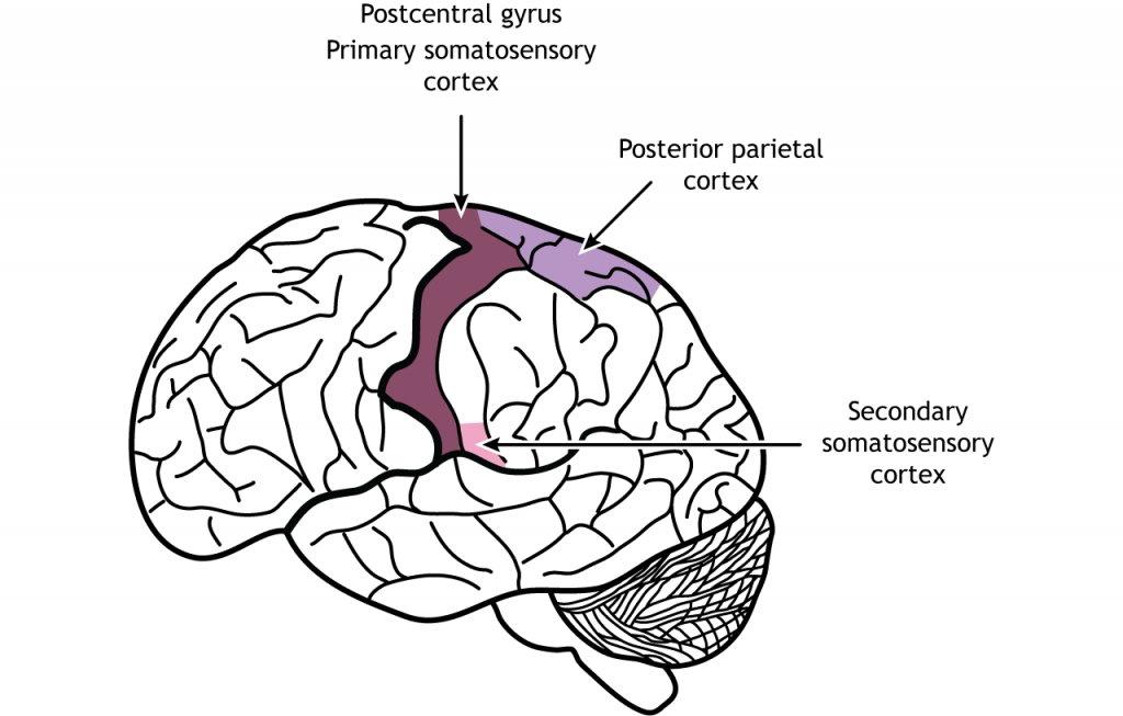 Illustration of the brain showing the location of the primary and secondary somatosensory cortices and the posterior parietal cortex. Details in caption.