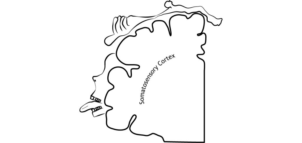 Illustration of somatosensory cortex showing location of body regions on the cortex. Details in caption.