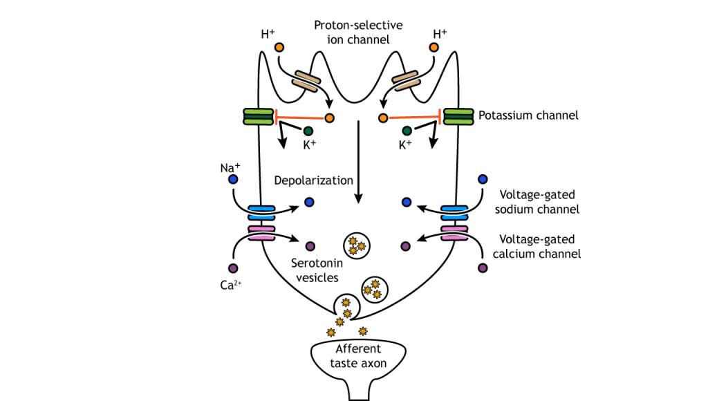 Illustration of sour taste transduction pathway. Details in caption.