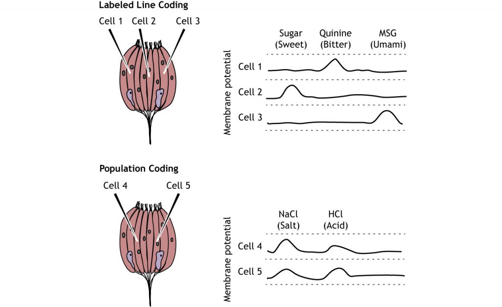Illustration of labeled line and population coding in the taste cells. Details in caption.