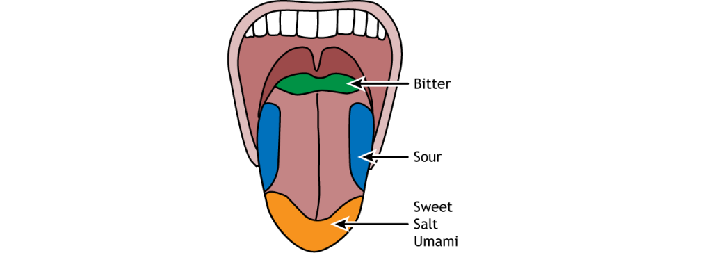 Illustration of the tongue and regions that are most sensitive to each of the five basic tastes. Details in caption.