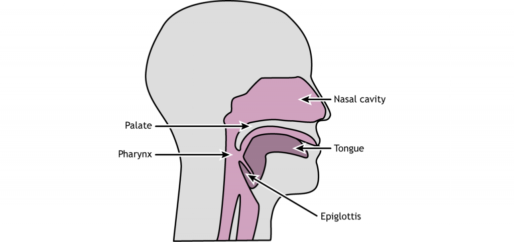 Illustration of mouth and throat anatomy. Details in caption.