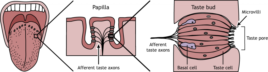Illustration showing a close-up drawing of a papilla and a taste bud. Details in caption.