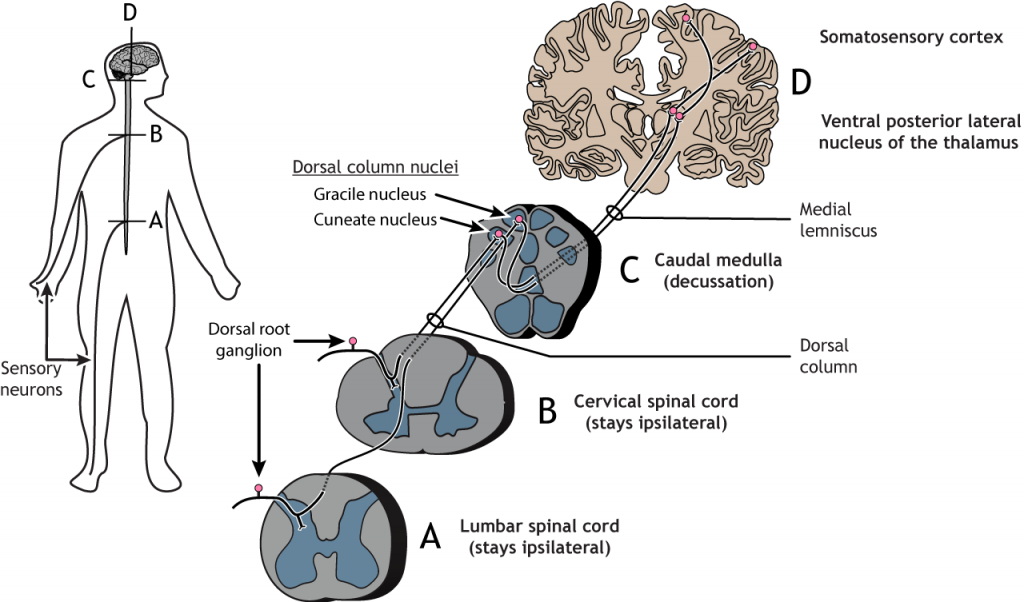 Illustrated pathway of the touch pathway from the sensory neuron in the body to the somatosensory cortex. Details in caption and text.
