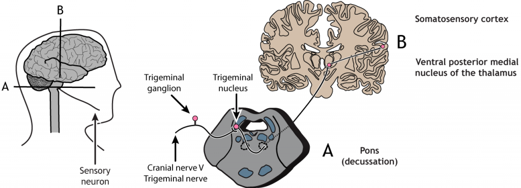Illustrated pathway of the touch pathway from the sensory neuron in the face to the somatosensory cortex. Details in caption and text.