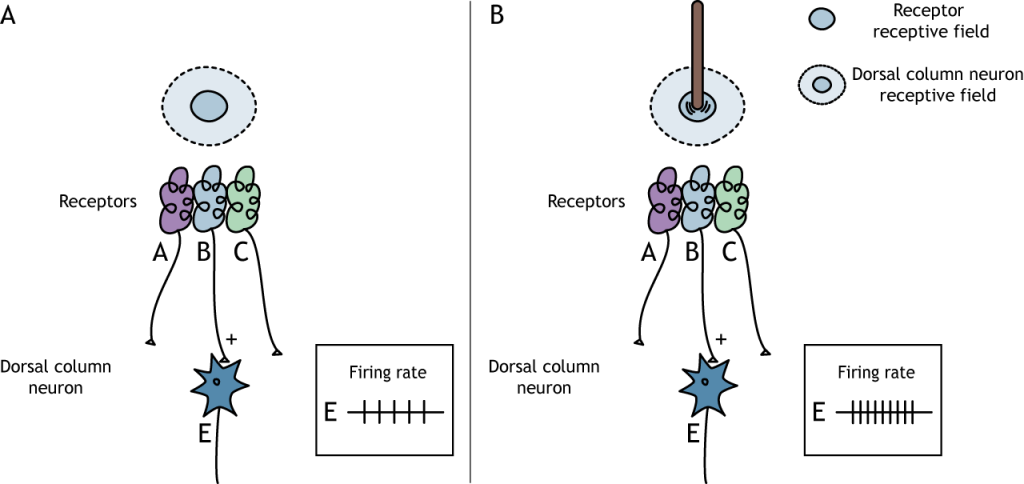 Illustration of activating the center of a dorsal column neuron receptive field. Details in caption.