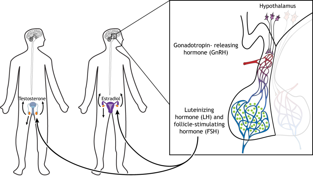 Illustration showing LH and FSH release from the pituitary causing hormone release from the gonads. Details in caption and text.