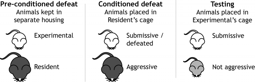 Illustration of the conditioned defeat paradigm. Details in text and caption.