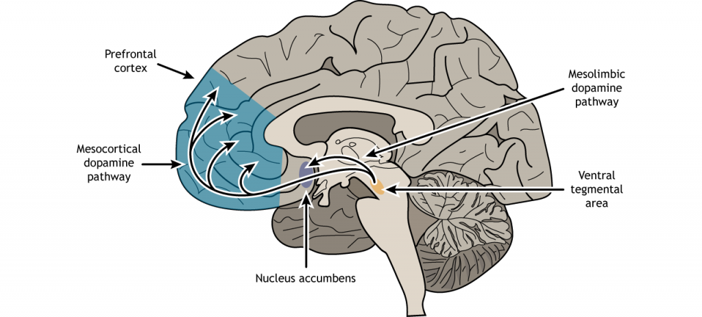 Illustration of a sagittal section of the brain showing the dopamine pathways from the ventral tegmental area. Details in text and caption.