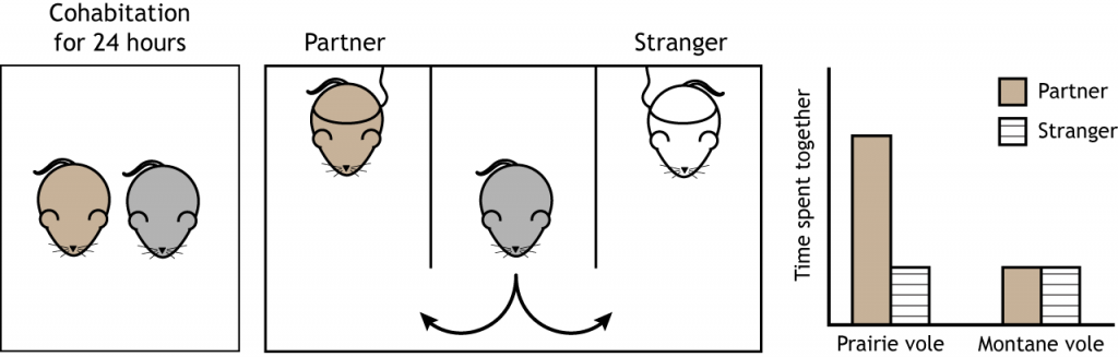 Illustration of the partner preference test and results in voles. Details in text and caption.