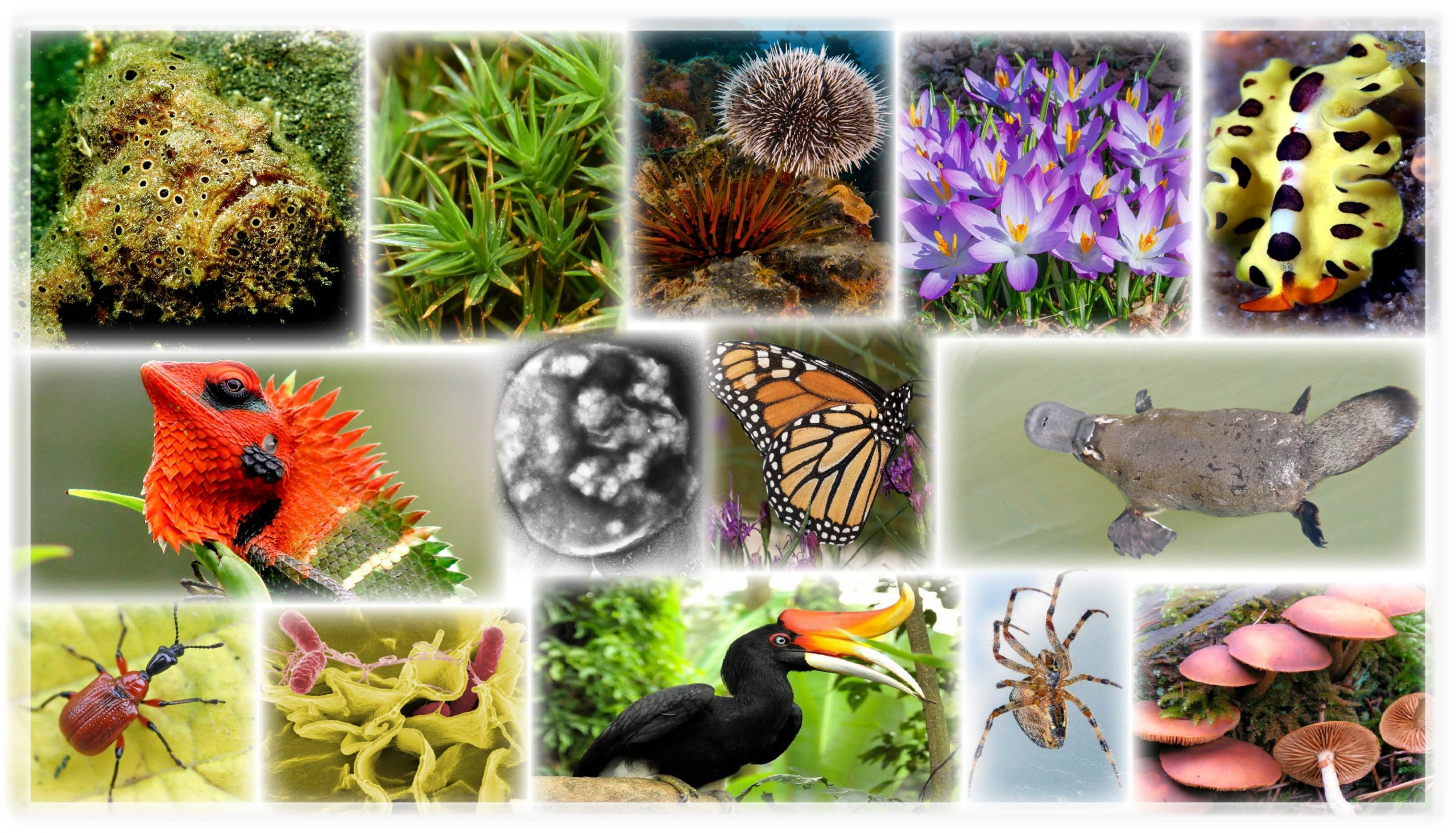 Camoflaged fish, close-up of green moss, brown sea urchins, white and purple flowers, yellow marine flatworm with black dots, iguana with a red head and green body, a single cell, a orange, black, and white butterfly, a brown platypus, a red beetle with a black head, single red bactia cells on a green substrate, a black bird with a hooked orange ornament on the beak, a brown spider on a web, mushrooms growing from the ground.
