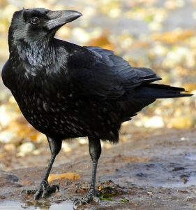 black bird with large, long beak.