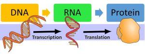 DNA makes RNA via transcription and then makes protein via translation.