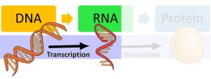 DNA makes RNA via transcription and then makes protein via translation. The image highlights that DNA is transcribed into RNA.