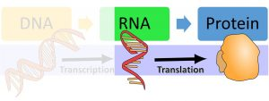 DNA makes RNA via transcription and then makes protein via translation. The image highlights that RNA translates to protein.