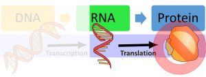 DNA makes RNA via transcription and then makes protein via translation. The image highlights that before or after translation, regulation can still prevent the protein from being made.