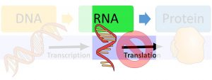 DNA makes RNA via transcription and then makes protein via translation. The image highlights that regulation after the RNA is made can prevent translation from occuring.