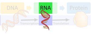 DNA makes RNA via transcription and then makes protein via translation. The image highlights RNA.