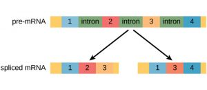 pre-mRNA with the following sequnence: exon 1, intron, exon 2, intron, exon 3, intron, exon 4. Two possible spliced mRNAs are shown: one that has exons 1, 2, 3 and another that has exons 1, 3, and 4.