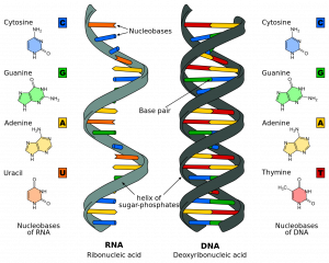 RNA (ribonucleic acid) is made of a single-stranded helix of sugar-phosphates and nucleobases. Nucleobases of RNA are cytosine (C), guanine (G), adenine (A), and uracil (U). DNA (deoxyribonucleic acid) is made of a double-stranded helix of sugar-phosphates and base pairs. Nucleobases of DNA are cytosine (C, guanine (G), adenine (A), and thymine (T). Nucleobases vary in molecular structure.