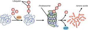 Proteasome surrounds protein with a ubiquitin tag and breaks it down into amino acids during a reaction that produces ubiquitin and ADP.