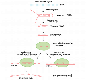 A microRNA gene in DNA is transcribed into an RNA with a hairpin loop; it is processed to created a duplex RNA, which then is processed to make microRNA; a microRNA-protein complex is formed, and either it perfectly matches mRNA (which chops up the mRNA) or partially matches the mRNA, which makes it so translation does not occur.