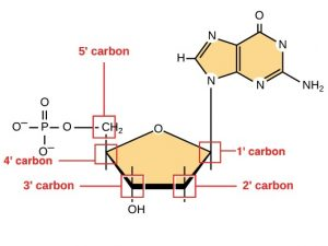 Sugar molecule shaped as a pentagon: Oxygen, 1-prime carbon, 2'prime carbon, 3' carbon linked to an OH, and a 4' carbon bound to CH2 (labeled as 5-prime carbon) which is bound to a phosphate. The 1-prime carbon is attached to a base composed of four nitrogens, one hydrogen, one oxygen, and a NH2. It also contains 3 carbons, but they are unlabeled.
