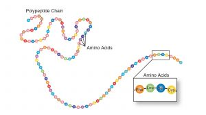 Polypeptide chain composed of about 100 amino acids.