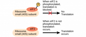 When elF2 is phosphorylated (while bound to ribosome small (40S) subunit), translation is blocked (i.e., no translation). When elF2 is not phosphorylated (while bound to ribosome small (40S) subunit), translation occurs.